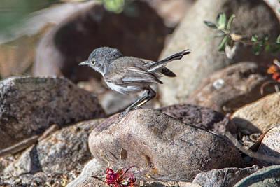 Photograph - Black-tailed Gnatcatcher by Dan McManus