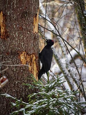 Photograph - Black Woodpecker by Jouko Lehto