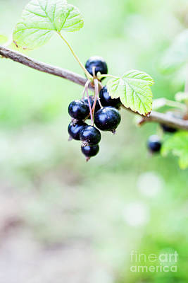 Photograph - Blackcurrant by Kati Finell