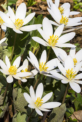Photograph - Bloodroot Flowers 2 by Steven Ralser