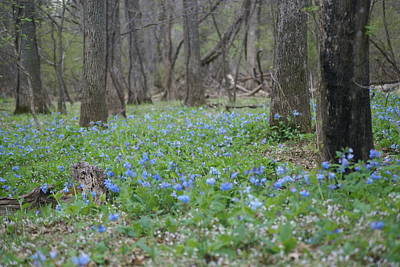 Photograph - Blue Bells by Heidi Poulin
