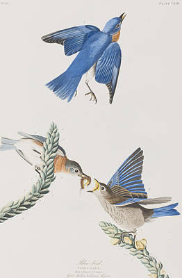 Bluebird Painting - Blue-bird by John James Audubon