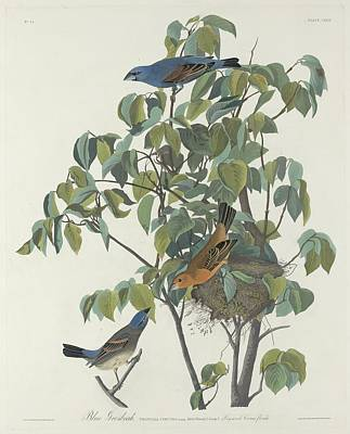 Ornithology Drawing - Blue Grosbeak by Dreyer Wildlife Print Collections