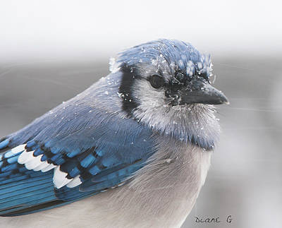 Blue Jay In A Blizzard Art Print