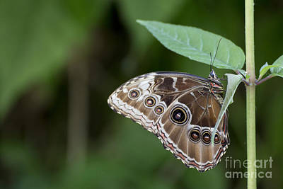 Photograph - Blue Morpho Butterfly by Pietro Ebner