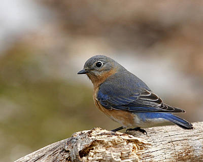 Animals Royalty-Free and Rights-Managed Images - Bluebird  by Enola-Gay Wagner
