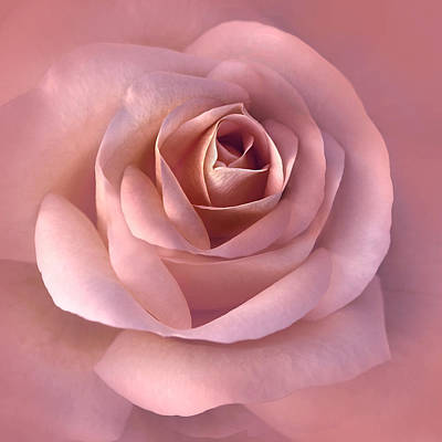 Rose Portrait Photograph - Blushing Pink Rose Flower by Jennie Marie Schell