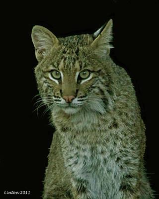 Bobcat Art Print by Larry Linton