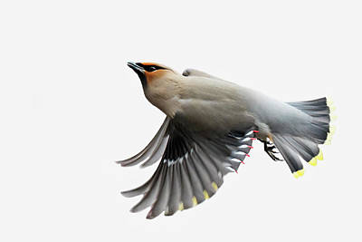 Art Print featuring the photograph Bohemian Waxwing  by Mircea Costina Photography
