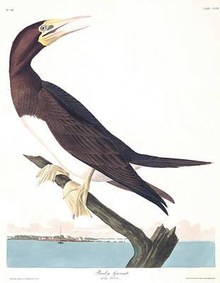 Boobies Painting - Booby Gannet by John James Audubon