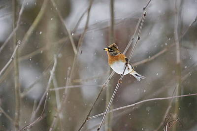 Photograph - Brambling by Jouko Lehto
