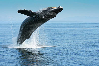 Breaching Humpback Whales Happy-1 Art Print
