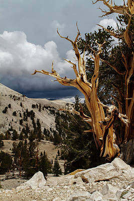Photograph - Bristlecone Pine 4 by Duncan Selby