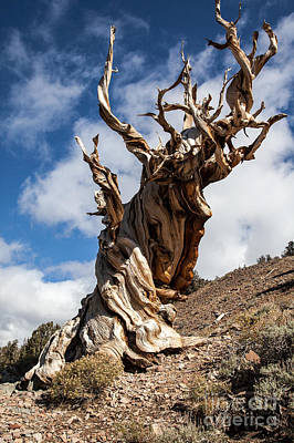 Bristlecone Pine Art Print by Richard Smukler