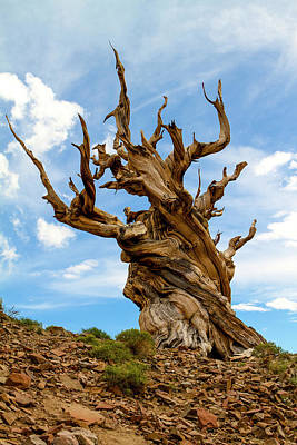 Photograph - Bristlecone Pine Tree 3 by Duncan Selby