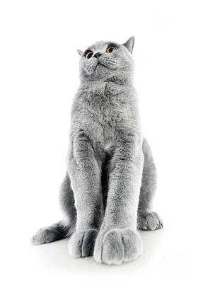 Feline Photograph - British Shorthair Cat Isolated On White. Sitting Confident by Michal Bednarek