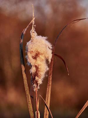 Photograph - Broadleaf Cattail by Jouko Lehto