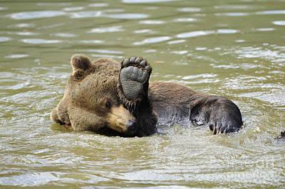 Brown Bear Bathing Art Print