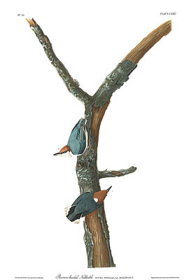 Nuthatch Wall Art - Painting - Brown-headed Nuthatch by John James Audubon