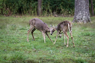 Photograph - 2 Bucks Fighting by Andrea Silies