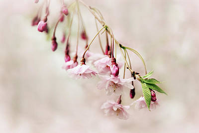 Cherry Blossoms Photograph - Budding Blossom by Jessica Jenney