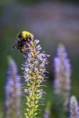 Photograph - Bumble Bee by Maria Coulson