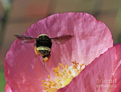 Poppy Wall Art - Photograph - Bumblebee  by Gary Wing