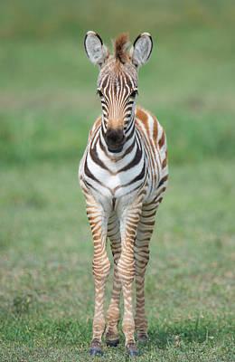 Burchells Zebra Equus Quagga Burchellii Art Print