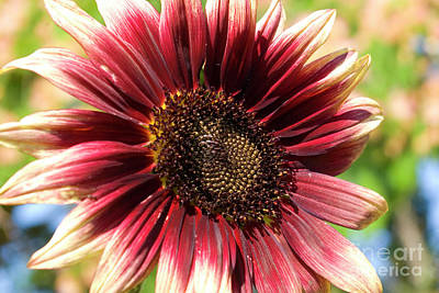 Photograph - Burgundy And Yellow Sunflower by Jim And Emily Bush
