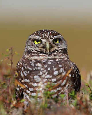 Photograph - Burrowing Owl  by Bruce J Robinson