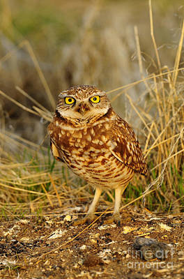 Burrowing Owl Art Print by Dennis Hammer