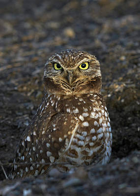 Burrowing Owl Art Print by Doug Herr