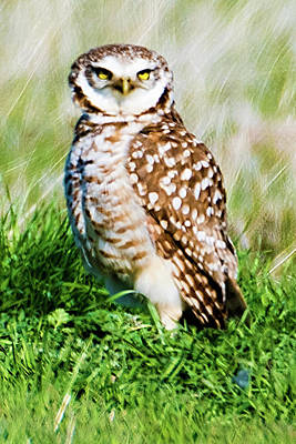 Photograph - Burrowing Owl by Norman Hall