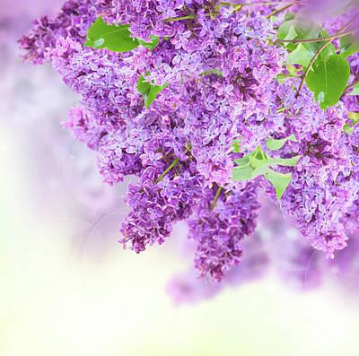 Photograph - Bush Of Lilac by Anastasy Yarmolovich