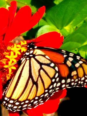 Photograph - Butterfly 1 by Vijay Sharon Govender