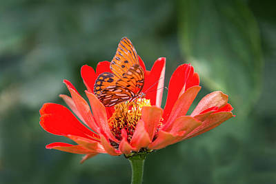 Photograph - Butterfly - Gulf Fritillary by Patti Deters