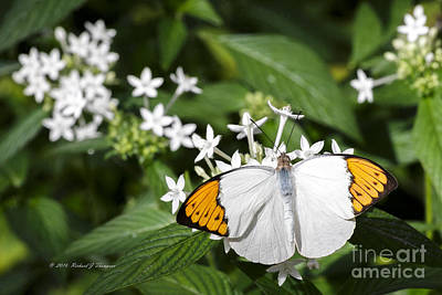 Photograph - Butterfly by Richard J Thompson
