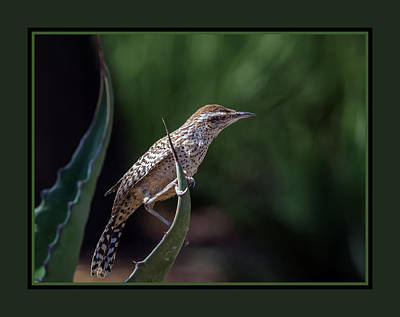 Photograph - Cactus Wren 2932 by Tam Ryan