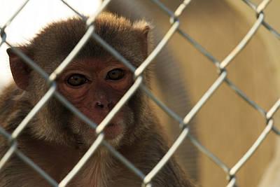 Caged Monkey Art Print