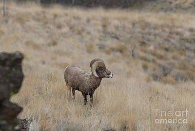 Brown Photograph - California Big Horn Sheep by Gary Wing