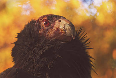 Photograph - California Condor by Brian Cross