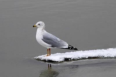 California Seagull Art Print by Dennis Hammer