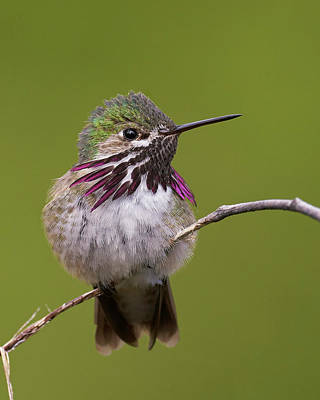 Photograph - Calliope Hummingbird by Doug Herr