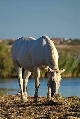 Photograph - Camargue Horse, France by Elenarts - Elena Duvernay photo