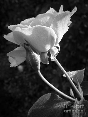 Photograph - Camelot Rose by Sara Raber