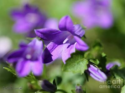 Photograph - Campanula Named Catharina by J McCombie