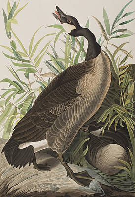 Geese Painting - Canada Goose by John James Audubon