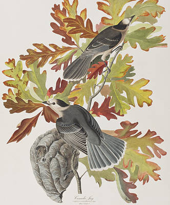Canada Drawing - Canada Jay by John James Audubon