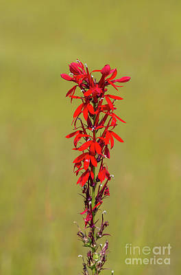 Photograph - Cardinal Flower by Les Palenik
