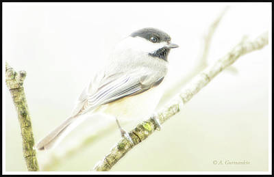 Photograph - Carolina Chickadee, Animal Portrait by A Gurmankin